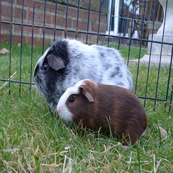 Lonely guinea pig has his happy ever after 2